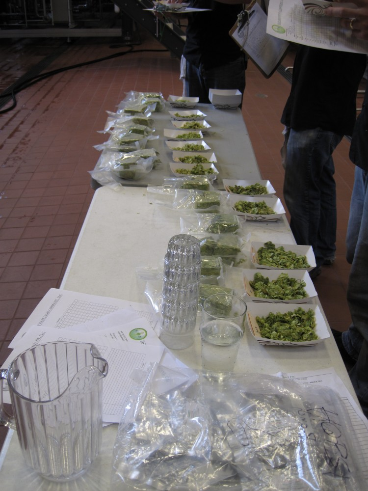 Founders hop testing, samples on a table ready to be tested